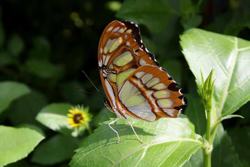 Malchite Butterfly