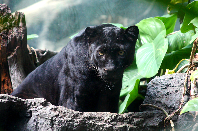 Black Panther at the Bronx Zoo