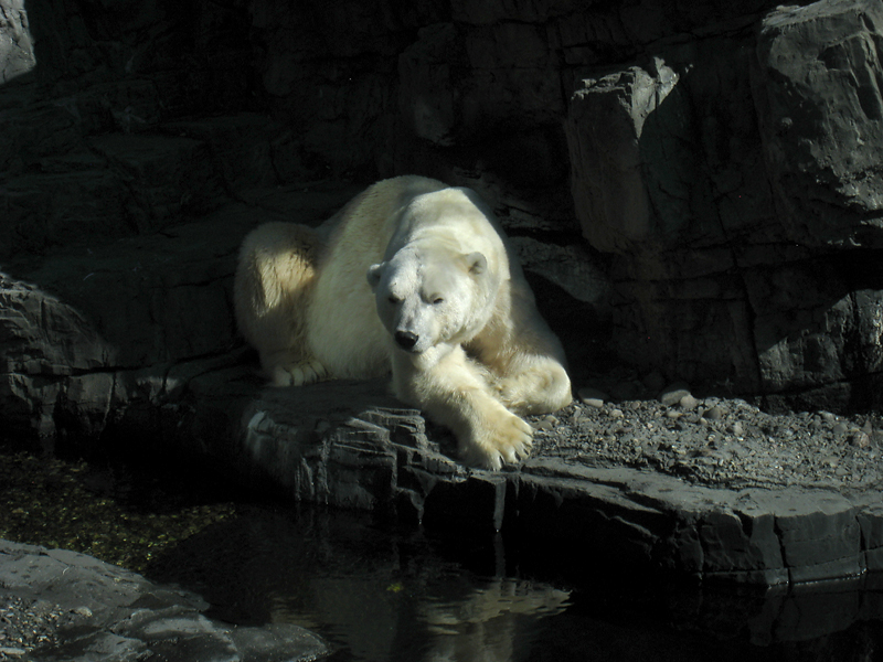 Polar Bear at Central Park Zoo